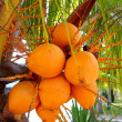Coconuts in palm tree ripe yellow fruit — Stock Photo