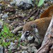 Royalty-Free Stock Photo: Coati ring Tailed Nasua Narica animal