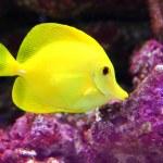 ������, ������: Yellow Hawaiian Tang Sailfin Surgeonfish