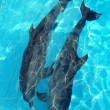 Royalty-Free Stock Photo: Dolphins couple top high angle view turquoise water