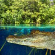Stock Photo: Crocodile caymswimming in mangrove swamp