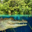 Crocodile cayman swimming in mangrove swamp — Stock Photo