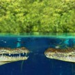 Two crocodile face each other in mangrove swamp — Stock Photo