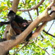 ateles geoffroyi spider monkey central america — Stock Photo #5123684