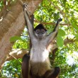 ateles geoffroyi spider monkey central america — Stock Photo #5123692
