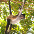 Ateles geoffroyi  Spider Monkey Central America - Stock Photo