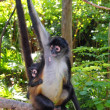 ateles geoffroyi spider monkey central america — Stock Photo #5123709