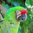 Ara Militaris Military Macaw Green parrot - Photo