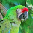 Ara Militaris Military Macaw Green parrot — Stock Photo
