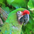 Stock Photo: ArMilitaris Military Macaw Green parrot