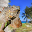 Mexican iguana in tropical Caribbean beach — Stock Photo