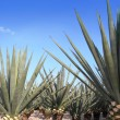 Agave tequilana plant for Mexican tequila liquor - Stock Photo