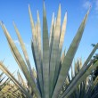 Agave tequilana plant for Mexican tequila liquor — Stock Photo