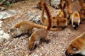 Coati ring Tailed Nasua Narica animal — Stock Photo