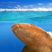 Nurse shark gata nodriza Ginglymostoma cirratum — Stock Photo