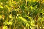 Chrysalidocarpus lutescens palm trees jungle — Stock Photo