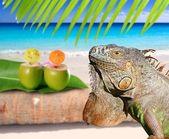 Mexico iguana in coconut Caribbean beach — Stock Photo