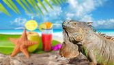 Iguana on Mexico tropical beach cocktail coconut — Stock Photo