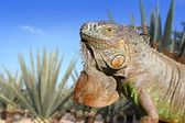 Iguana Mexico in agave tequilana field blue sky — Stock Photo