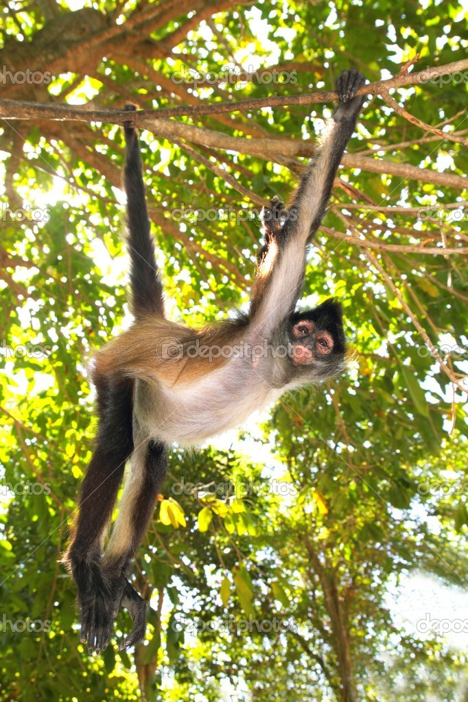 Ateles geoffroyi vellerosus Spider Monkey Central America Jungle  Stock Photo #5123701