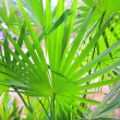 Chit Palm ree leaves in Yucatan rainforest mexico — Stock Photo