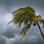 Hurricane tropical storm coconut palm tree leaves — Stock Photo