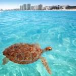 Green sea Turtle Caribbean sea surface Cancun — Stock Photo #5282773