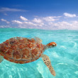 Green sea Turtle Chelonia mydas Caribbean — Stock Photo #5282776