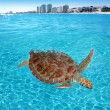 Green sea Turtle Caribbean sea surface Cancun - Stock Photo