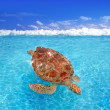 Green sea Turtle Chelonia mydas Caribbean — Stock Photo #5282783