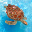 Green sea Turtle Chelonia mydas  Caribbean — Stock Photo