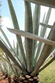 Agave cactus tequilana plant for Mexican tequila — Stock Photo