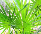 Chit Palm tree leaves in Yucatan rainforest mexico — Stock Photo