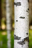 Birch trunk — Stock Photo