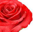Red Rose — Photo