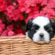 Cute Puppy — Stock Photo #5224484