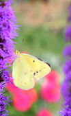 Clouded Sulphur Butterfly — Stock Photo