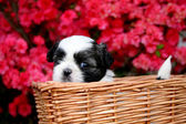 Cute Shih Tzu Puppy — Stockfoto