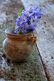 Hyacinth Blooms — Stock Photo