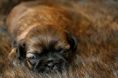 Cute Puppy — Stock fotografie