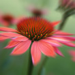 Cone Flower — Stock Photo
