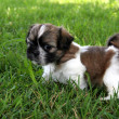 Puppy Shih Tzu - Stock Photo