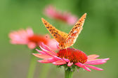 Cone Flower and Butterfly — Stock Photo