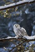 Sowa śnieżna — Zdjęcie stockowe