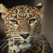Leopard — Stock Photo #5244206