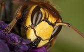 Hornet — Photo