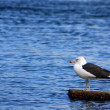 Gull on the rock — Stock Photo