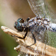 Keeled skimmer dragonfly — Stock Photo