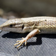 Iberian wall lizard — Stock Photo