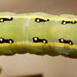 Green caterpillar - Stock fotografie